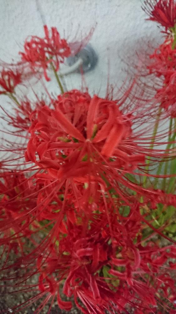 彼岸花、大阪府 大阪府在住です。 彼岸花、まだ咲いているでしょうか? 毎年行けたらと思うものの、何かしらで行けず、今年は行けそう! ①大阪城 ②浜寺公園 ③万博 を調べたら出ました。 近々行かれた方居ますか? 教えて下さい。 ④長居公園 ⑤久宝寺緑地 とかどうでしょうか? 他にもあれば教えて下さい。 ずらっと咲き誇ってる所を見たいです~。