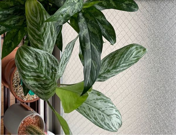 アグラオネマカーティシーの葉が写真のようにシワがあります。右奥の葉は先月開いたものですが、徐々にシワが目立ってきました。 購入した時から既存の葉は全てシワが入っていたのでしょうがないものと考え、...