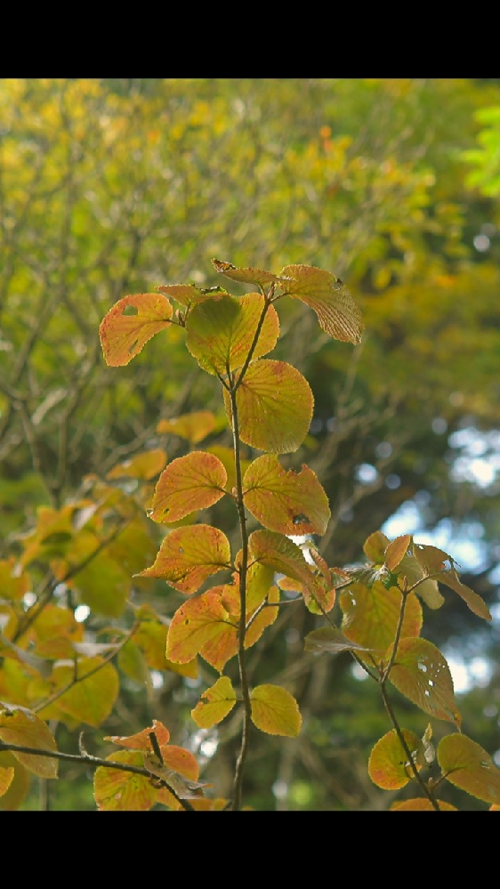 この樹木の名前は何でしょうか?早くも紅葉が始まっていました。