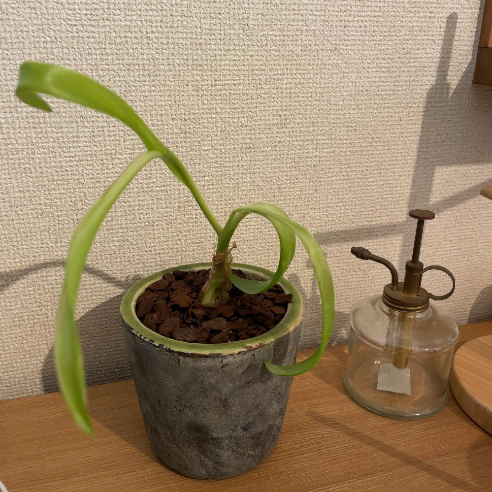 この植物の名前はなんですか? 購入した際に刺さっていた名札を捨ててしまい、なんだかわからなくなってしまいました。 色々調べたり、購入店舗へ行って聞いたりしましたがわかりませんでした。 購入した当...