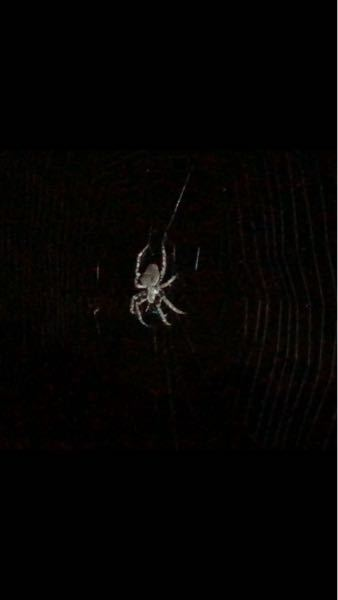 今、窓を開けて見たら巨大な蜘蛛がいたのですが、この蜘蛛はなんて名前の蜘蛛でしょうか? 蜘蛛の巣も半端ない大きさで、蜘蛛もかなり大きいです。