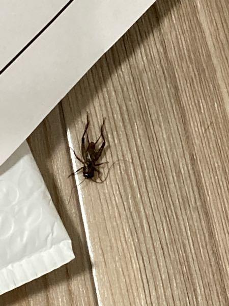 これはゴキブリでしょうか?