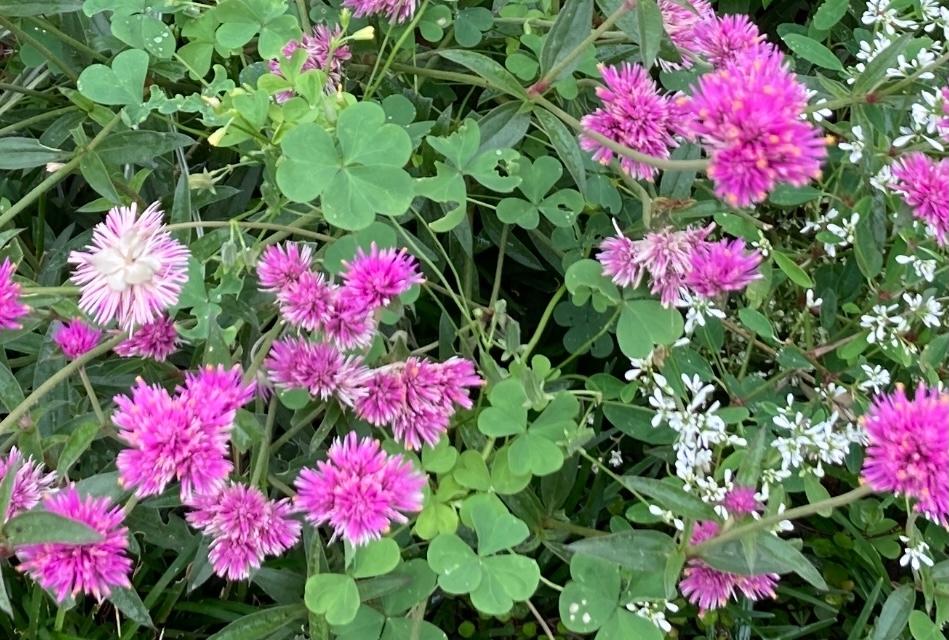 このピンクの花は何という名前でしょうか。 アザミのような感じの花で、花びら?ピンクの部分はまあまあ固めでした。ちょうどこの時期にたくさん咲いていました。花のサイズは3cm程度かと思います。 ちなみに、その脇にある花はダイヤモンドフロストでしょうか? よろしくお願いします!