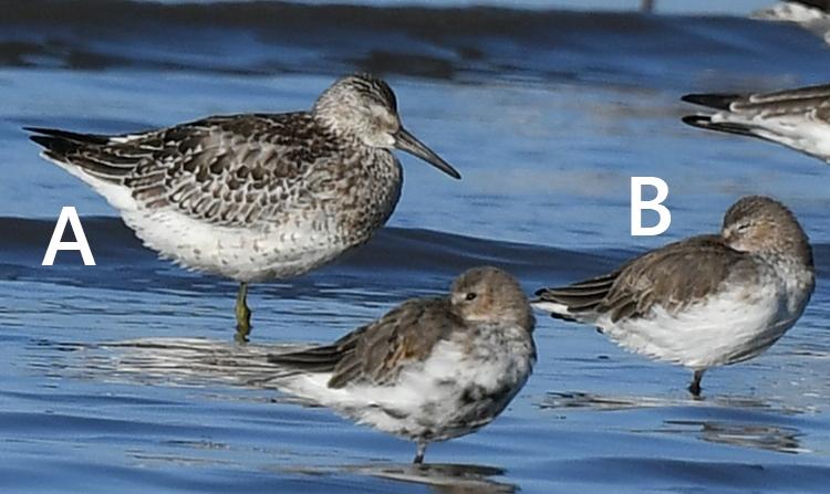 この鳥の名前はなんでしょうか? Aは「オバシギ」 Bは「コオバシギ」 に見えるのですがいかがでしょうか? なにとぞよろしくお願いいたします