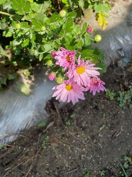 この花はなんていう花ですか?