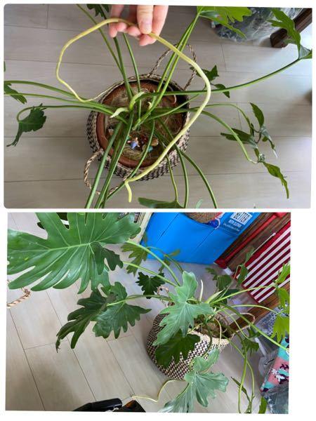 セロームの根っこ?が1m以上に伸びてるのですが、これは切ってしまってよいのですか? また、植木鉢はもっと大きいものにしたほうが良いですか? 深さは根っこ全体が入ればもう少し浅いものでも良いですか?
