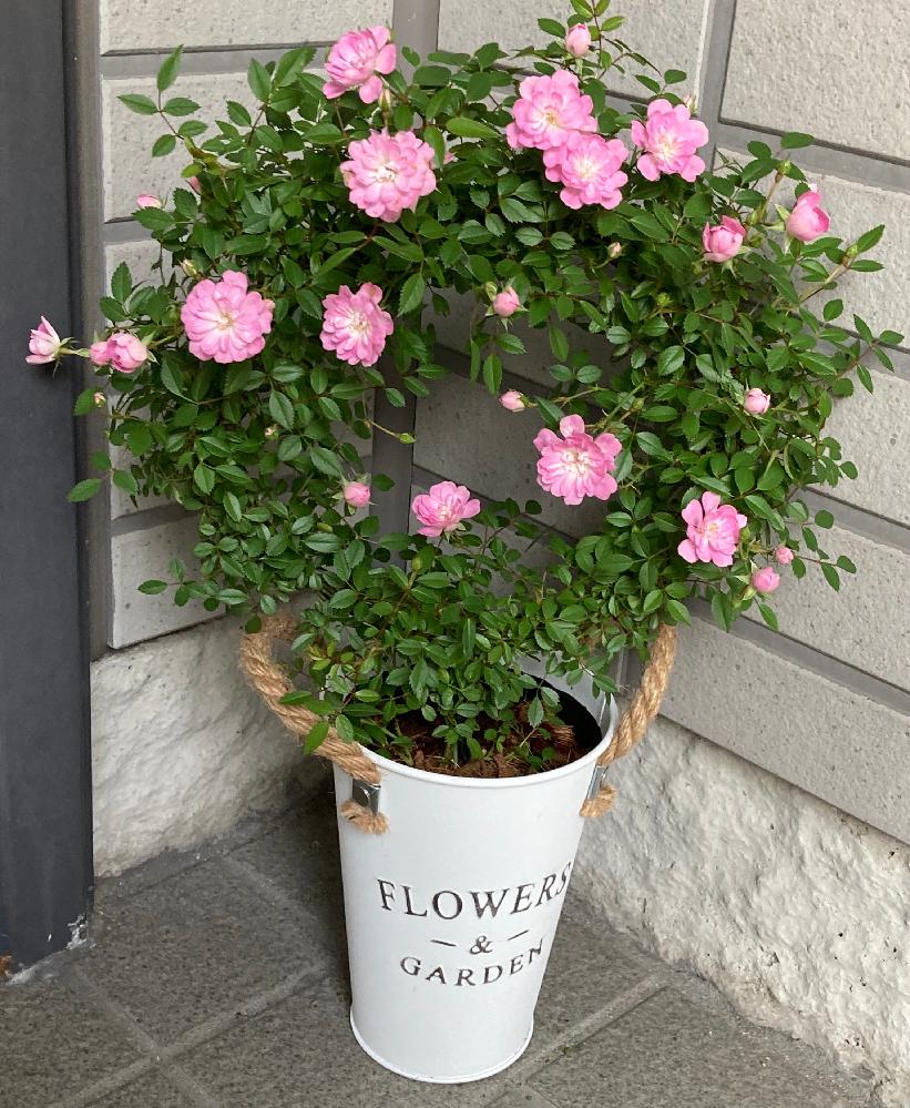 このお花のは名前がわかる方教えて下さい。 写真は5月の写真で、多年草だそうです。 購入した際に名前を聞きそびれてしまいました。宜しくお願いします。
