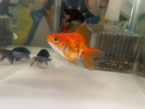 我が家で飼育している金魚の琉金なのですが、写真の通り鱗に規則性がないように思います。こういう鱗はなんというのでしょうか? 左側右側共にこのような感じで鱗が並んでいます。 何か病気とかの可能性はありますか?