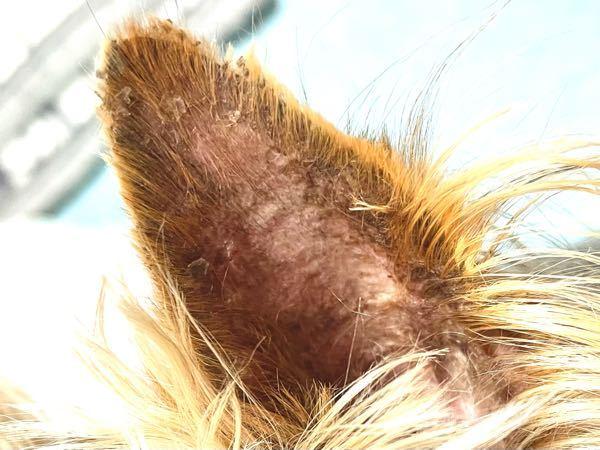 犬の耳が最近おかしいです。 耳のフチの毛の根本に汚れのような黒いものが付いていて、それがボロボロ毛とともに抜けます。 匂いはしません。 ブラッシングをしたり触ったり少し毛を引っ張ると、黒い汚れと毛が抜けます。 いつもトリミングで綺麗な耳なのですが、トリミングから帰ってきても耳は汚いままでした。 自宅でシャンプーを耳につけ置きして洗い流しても、なかなか全ての汚れが落ちません。 かさぷたのように付いている汚れもあります。 これはなんなのでしょうか? 特に痒がったり、耳の中が汚れているわけではありません。綺麗にしたくても難しいです。 うちは2匹犬を飼っているのですが、2匹とも同じ症状です。 ただの汚れなのか?病気なのであれば受診します。 また、同じ症状のワンちゃんを買っている方がいたら回答お願いします。