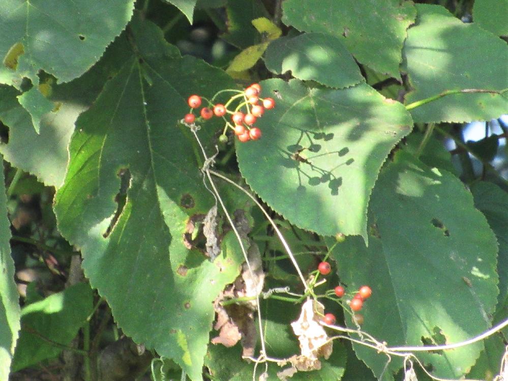 赤い実の名前を教えて下さい。 撮影日 2021-09-23 撮影地 利根川河川敷