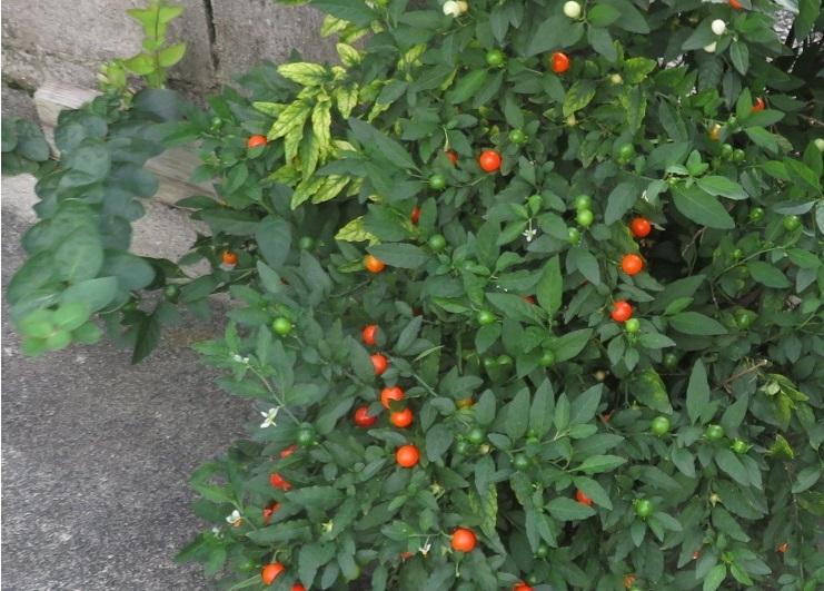 道端に植えてありました。このオレンジ色の実のなる植物はなんですか?背丈は50センチほど。1cmほどの実がなってます。