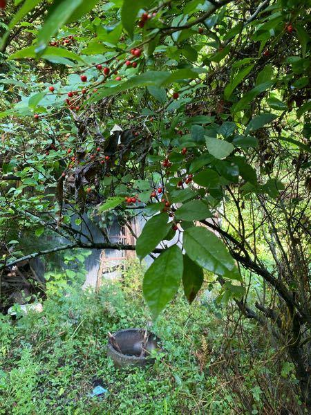 赤い実がなってる植物の名前を教えてください。