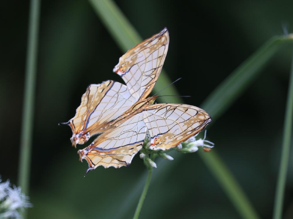 この蝶々の名前を教えいただけないでしょうか