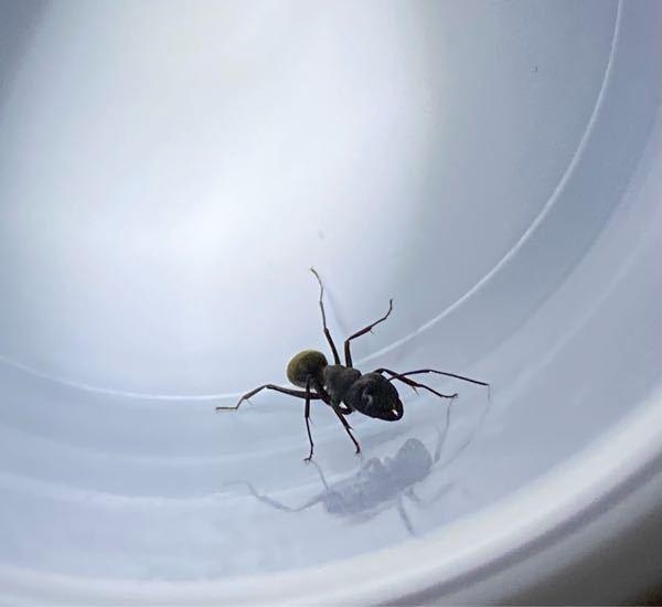 このアリは何アリでしょうか? サイズは2センチほどです。 また、女王蟻でしょうか?時期的に違うとは思うのですが、、 回答していただけると嬉しいです。