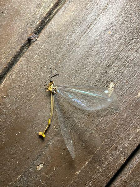 暗がりのところガガンボと思い思わず叩いたのですが、見てみると初めて見るトンボのような虫でした。 これは何でしょうか?