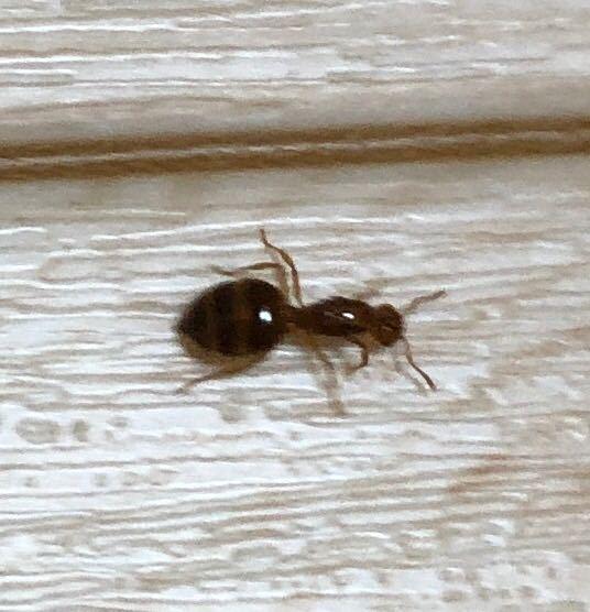このアリは何というアリですか? 今 キッチンの床にいました。 5ミリくらいで、お尻がしましまで、赤茶ぽい色でした。 よろしくお願いします。