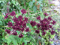 9/23 福岡県背振山系で撮りました。この植物の名前をご教示ください。