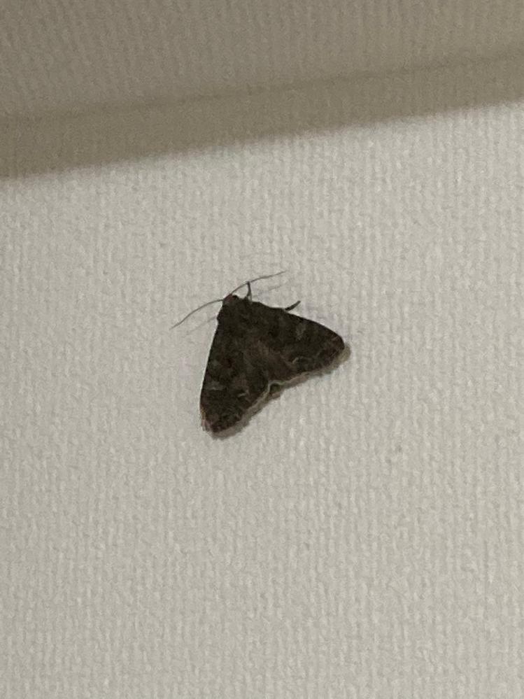 家の中に入り込んだ虫の名前を知りたいです。写真は壁の高いところに虫が止まっていたのを撮ったため、画質があまり良くないです。少し見づらいかもしれません。