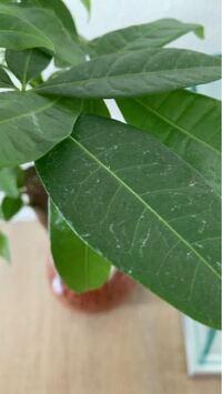 パキラを購入したのですが、ご覧のように葉が白い部分があります。これは何ですか?どうすれば治りますか?