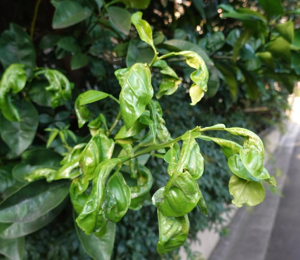 今年2月に収穫後、思い切って剪定した八朔だったのですが、先端の葉が妙な形になっています。これは栄養不足?などが原因でしょうか? 先端以外はいつもの葉の状態です。