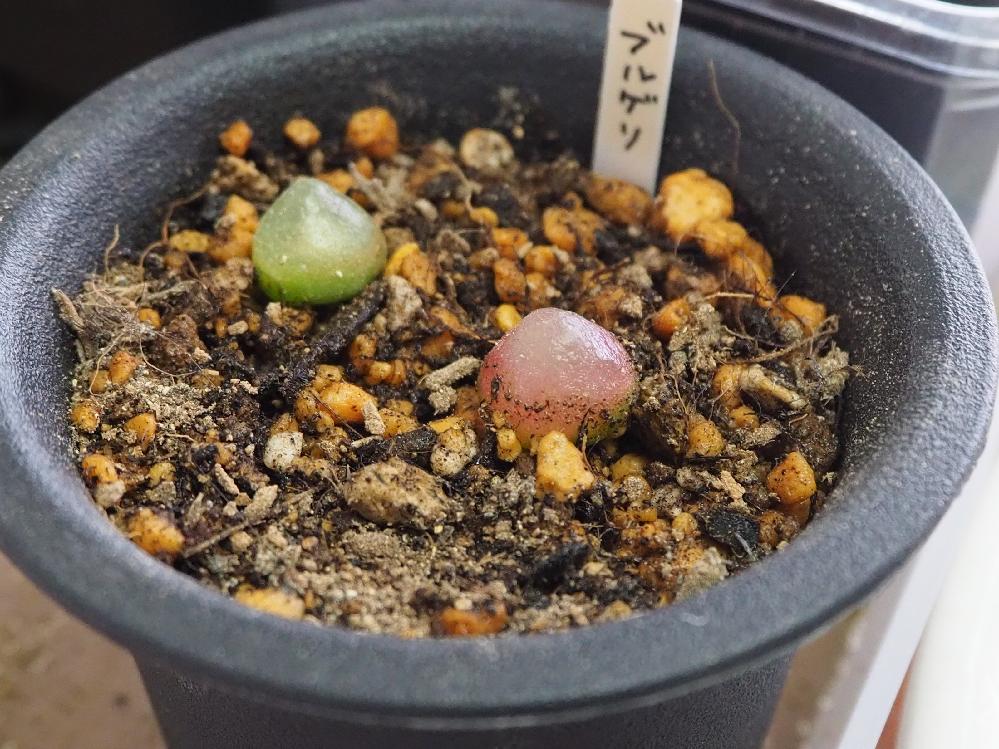 ネットで抜き苗のブルゲリ(コノフィツム)を買いました。 抜き苗と言ってもほぼ機能してないようなカラッカラの根っこです。 そのまま多肉植物の土に植え、 あまりにも根がカラカラだったので根が...