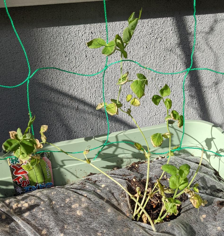 家庭菜園初心者です。 以前植えたエンドウが黄色く枯れてきてしまいどのように対応するべきか困っています。 日当たり良好で新しい土を使っています。 水のあげすぎでしょうか? この状態から何か手を加えて復活することは可能でしょうか? 回答宜しくお願いいたしますm(_ _)m