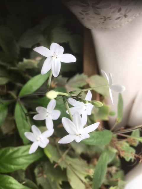 この花の名前を教えてください。 シャコバサボテンの鉢の中に紛れて、数年前から咲くようになりました。 秋のはじめに咲く5弁、直径2 cmほどの小さな白い花です。