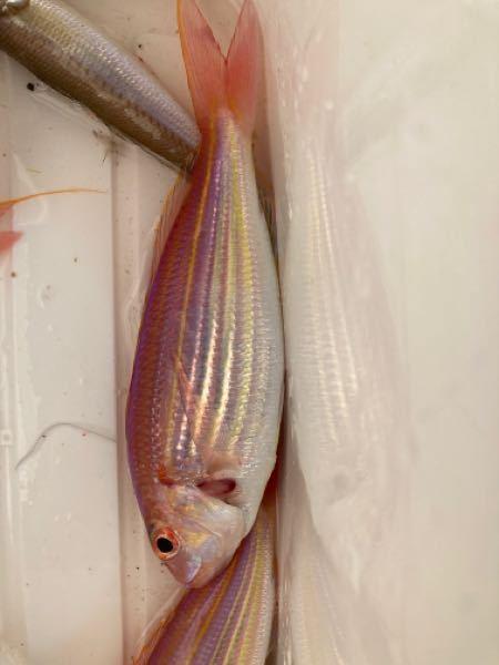この魚は何ですか?食べられますか? 投げ釣りでかかりました。教えてください