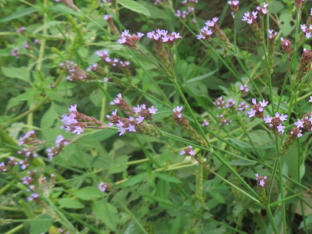 千葉県ですが、今朝の散歩で見かけたこの花は何でしょうか? 直径1センチほどで花弁は5枚です。