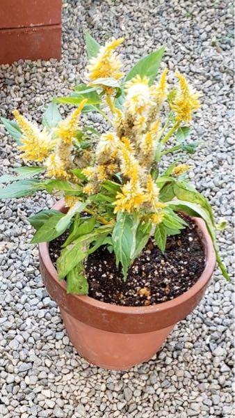 この花はなんという花か教えてください。 知人が引っ越す際に、地植えにしていた花をくれました? スマホ調子が悪く、植物のアプリが使用できず。 よろしくお願いします。