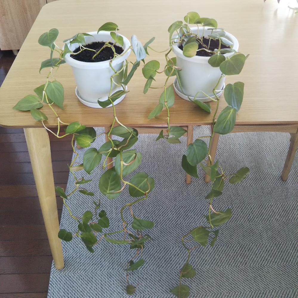 伸びすぎたフィロデンドロンを、どうしたらよいのか困っています。 2年ほど前に100円ショップで購入したフィロデンドロンです。 1年でかなり成長したので、今年の春先に二つに分けて植え替えました。 この夏にヒョロヒョロと伸び、伸びたつるはくるくると巻いていました。 伸びたつるをカットしようかと思いましたが、そもそも根本が貧相です。 伸びたつるをカットして、二つの鉢を一つに植え替えた方がよいのでしょうか? 今の時期に植え替えても良いものでしょうか? どうしたらよいのか、アドバイスいただけたら嬉しいです。 よろしくお願いします。
