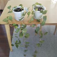 伸びすぎたフィロデンドロンを、どうしたらよいのか困っています。 2年ほど前に100円ショップで購入したフィロデンドロンです。 1年でかなり成長したので、今年の春先に二つに分けて植え替えました。 この夏にヒョロヒョロと伸び、伸びたつるはくるくると巻いていました。  伸びたつるをカットしようかと思いましたが、そもそも根本が貧相です。 伸びたつるをカットして、二つの鉢を一つに植え替えた方がよいので...