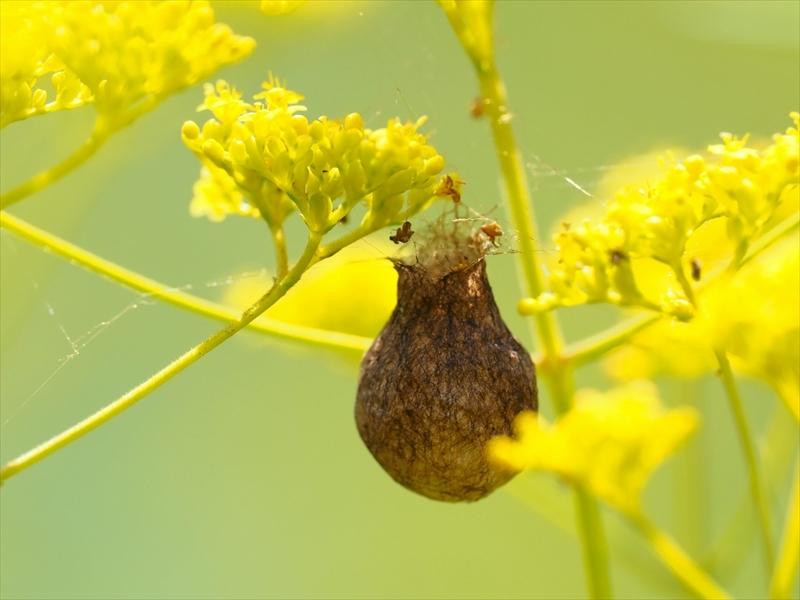 オミナエシの花にぶら下がっている虫(?)の巣らしきものは、何でしょうか? 見ている間には、クモや昆虫の出入りはありませんでした。 画像を添付しますので、よろしくお願いいたします。 https://realestate.yahoo.co.jp/knowledge/chiebukuro/detail/10178041390/