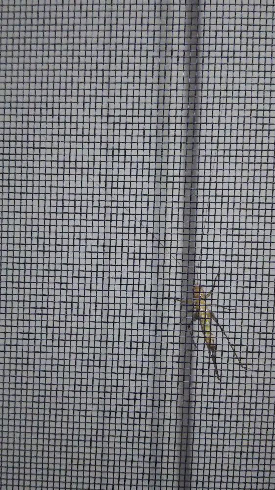 この添付画像の虫は何ですか? 窓を開けている暗い部屋の網戸の外側に張り付いています。脚は6本あり、色は黄土色で、長細く体長は2.5㎝くらいです。触角は3㎝以上ありそうです。