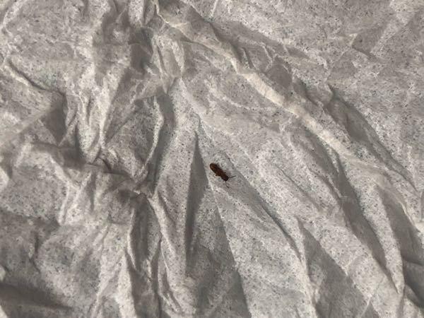 この虫の名前を教えてください。 実家の自室に、大きさ1〜2mm、茶色の虫がいたのですが、これはゴキブリの子供なのでしょうか? 先月にも現れて今回で2回目なので気になります。。 ご回答よろしくお願いします。