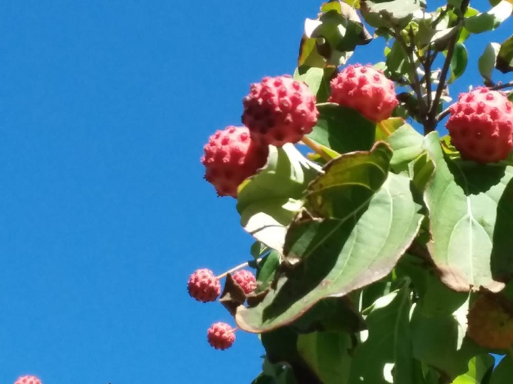 この実がついた木は何の木ですか? 割と低めの木です。 アメリカで見つけました。 宜しくお願いします。