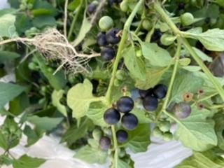 庭に雑草と生えていたのですが、この植物は何ですか?この実は食べれますか?