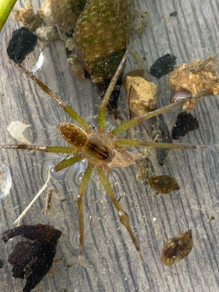 ミズグモですか? 畑の用水路で見つけました 2~3cmぐらいです