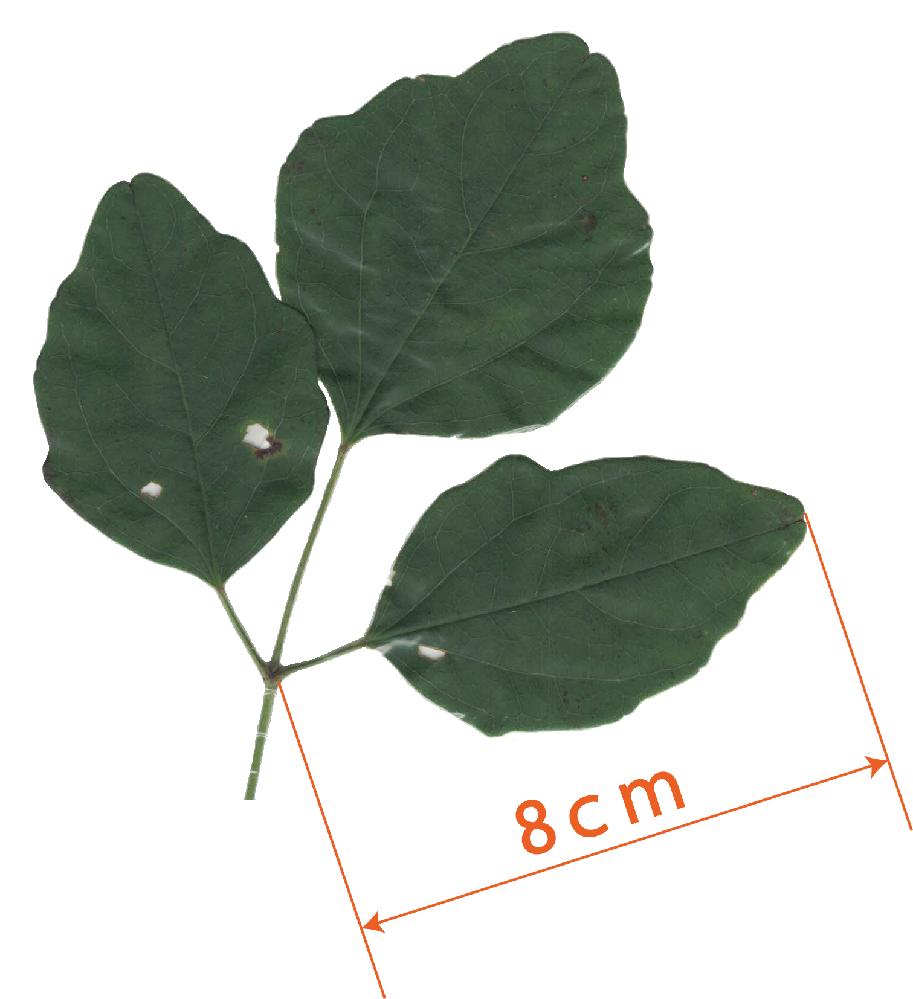 これはアケビの葉でしょうか? 高いところに木に巻き付くようにアケビの実?がありましたが 同じものから生えてるかごちゃごちゃしてわかりませんでした