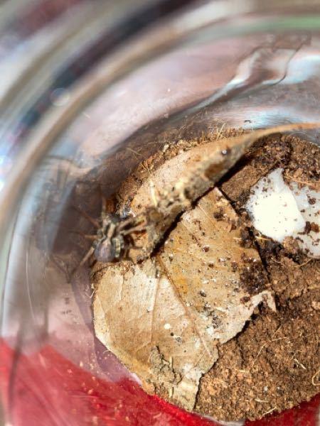 ウヅキコモリグモを飼っているのですが、一昨日2匹の子コオロギを与え,今見てみたらお腹が少し大きい気がします。結構クモってお腹持つものなんですかね?それとも妊娠したりしていますか?お腹が茶色いので雄だと 思うのですが...