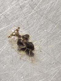 初めて見ました。5ミリ程度の大きさの虫です。この虫の名前を教えて下さい。