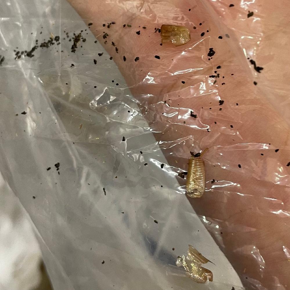 閲覧注意です。 これは何か虫の抜け殻でしょうか? 古い引き出しの奥に沢山ありました。