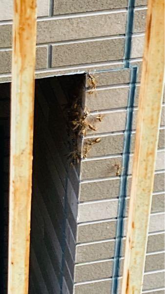 【至急】蜂には1箇所に集まる習性があるんですか?(アシナガバチ)