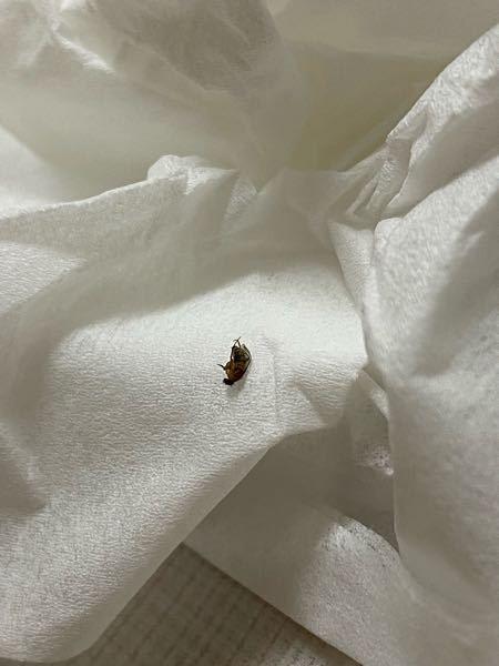 有識者の方に質問です。 家の中で飛んでたやつを仕留めたのですが、なんの虫でしょうか? 調べてもよく分からなかったので、知っている方がいたら教えて頂きたいです。