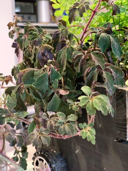ご覧いただきありがとうございます。 この植物の名前をお教えいただきたいです。植え替えをしたら急に元気がなくなってしまいました…育て方のコツなどありましたら、あわせてお聞きしたいです。よろしくお願いいたします。