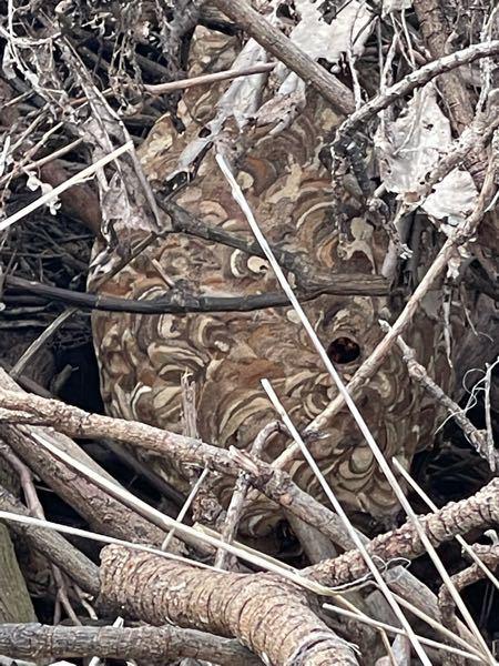 草しか生えてない田んぼに枇杷の木を剪定した枝を盛り上げた状態にしてあったのですが昨日その枝の中に直径で言うと30cmくらいのスズメ蜂の巣を見つけました。枝に灯油をかけて長い竹の先にタオルを数枚巻...