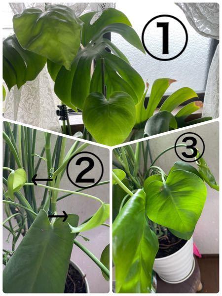 どなたか 詳しい方教えて頂けないでしょうか? モンステラについてですが、植え替えをしてから 新芽が沢山育ちましたが、一向に大きくなりません。 大きくならないまま、次々新芽が生えてきて、元気もなくなってきました。 ①の様な葉に育てたいのですが、②や③の写真のような葉は大きく育つのでしょうか? 栄養剤を与えても新芽が生えるばかりで、大きくなりません。 葉を成長させ、元気になる方法をご存知の方、アドバイス、知恵をお借りしたいです。 よろしくお願い致します。