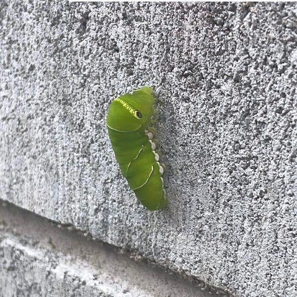 自宅のコンクリの壁で発見したのですが、この子はアオスジアゲハの幼虫でしょうか? 大きさは4センチくらいです。 普通木とかにいると思うのですがうちには特に木とかなくてどこからか来てしまったのでしょうか? どうしてあげるのが1番ですかね、、、