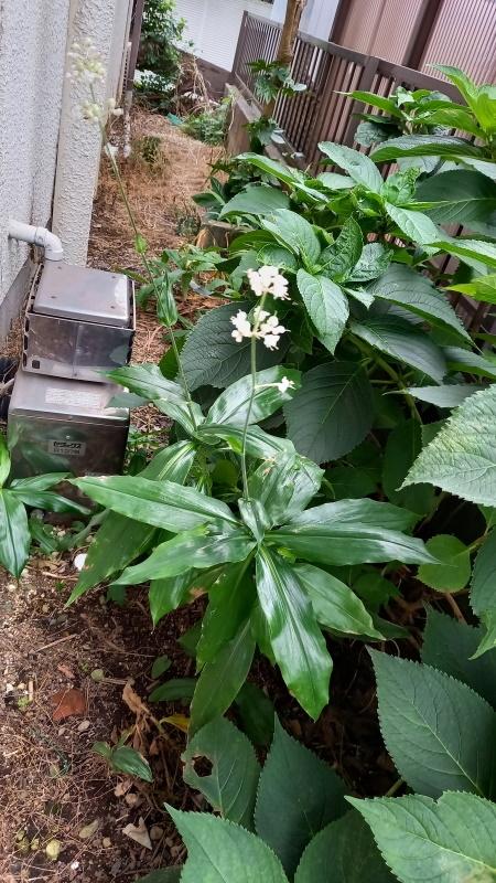 毎年夏裏でアジサイと一緒に咲いていました、 長年ミョウガと思っていましたが 光沢があり大きな長い葉です。 5,60cm位あり白い綺麗な花を咲かせます。 この花の名前を教えてください。
