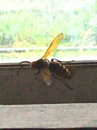 北海道の内陸のものですが 納屋の窓に写真の蜂がいました 何という名前の蜂ですか? 画像が荒くて申しわけないです